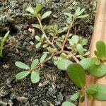 Portulaca oleracea Leaf