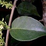 Passovia pyrifolia
