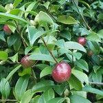 Camellia japonica Fruit