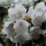 Rhododendron argyrophyllum