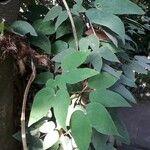 Bauhinia guianensis