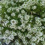 Lobularia maritima Flor
