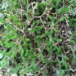 Selaginella sellowii