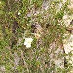 Purshia glandulosa