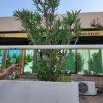 Nerium oleander Hoja