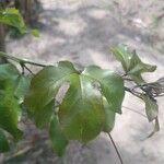 Passiflora edulis Leht