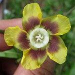 Prestonia longifolia