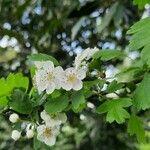 Crataegus laevigata Fleur