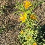 Scolymus hispanicus Flower
