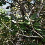 Eugenia tinifolia