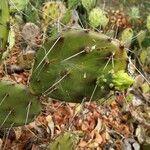 Opuntia guatemalensis