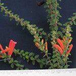 Lamourouxia gutierrezii