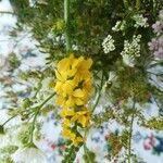 Tanacetum vulgare Flower