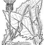 Hieracium sonchoides