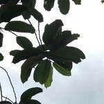 Dipterocarpus costulatus