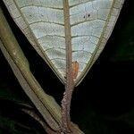 Miconia pterocaulon