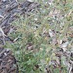 Citrus australis