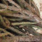 Euphorbia kamerunica