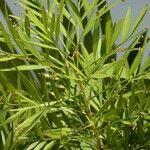 Phyllanthus angustifolius