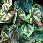 Begonia masoniana Habit