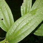 Smilax spinosa