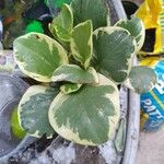 Peperomia obtusifolia Blad