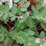 Euphorbia humifusa