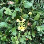 Sinapis arvensis Blomma