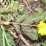 Croton jutiapensis