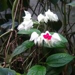 Clerodendrum thomsoniae Flower