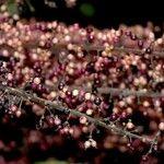 Schefflera nicaraguensis
