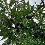 Prunus dulcis 葉