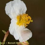 Helianthemum neopiliferum