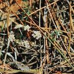 Bunium alpinum