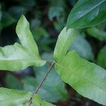 Tectaria trifoliata