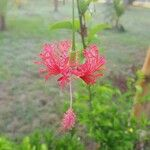 Hibiscus schizopetalus Flower