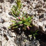 Oenothera punae