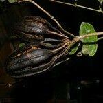 Chamaedorea deckeriana