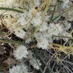 Paronychia capitata