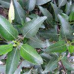 Baccharis latifolia
