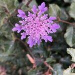Scabiosa columbaria Flower