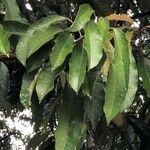 Elateriospermum