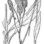 Hieracium glaucum