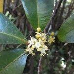 Syzygium borbonicum