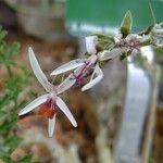 Pelargonium multibracteatum