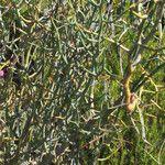 Acacia aphylla