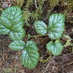 Rubus nivalis