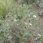 Astragalus garbancillo