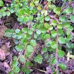 Cotoneaster hjelmqvistii