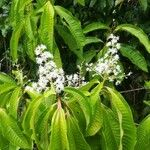Miconia longifolia